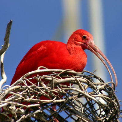 Scarlet Ibis at Oceonagrafic